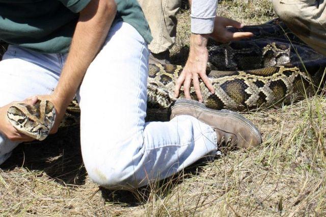 Ve Spojených státech zachytil největší barmské python ve světě
