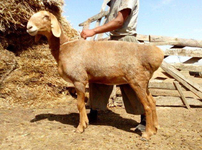Avganistanskoj rase ovaca