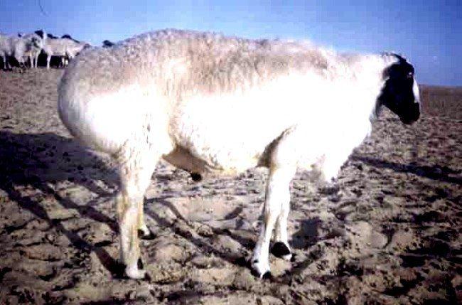 Tadžikistana rase ovaca