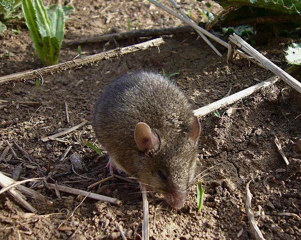 Курганчиковая мышь вызывает больше симпатии, чем её домовая родственница