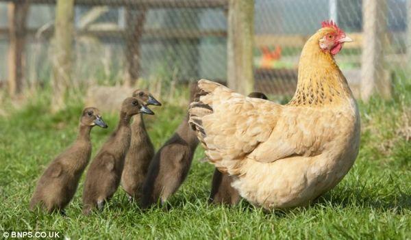 Hen-kokoš pačiće uzima oba piliće