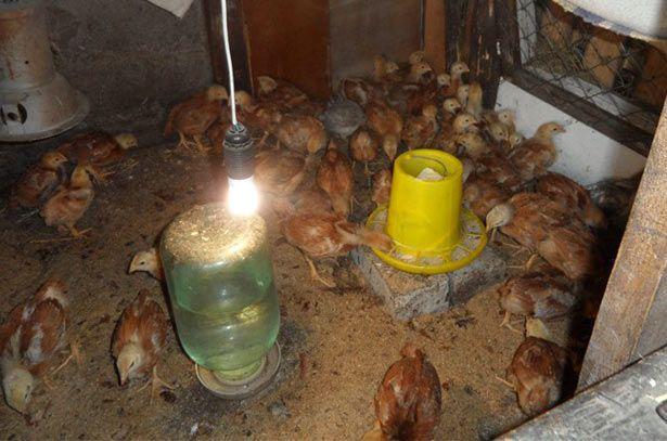 Цыплята кросса Фокси Чик