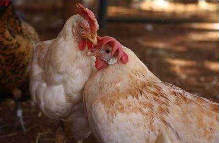 prestáva niesť kurčatá, ktoré robia