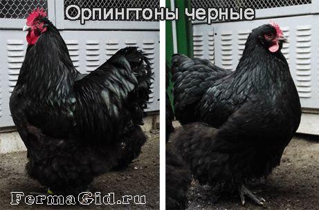 Курица и петух породы Орпингтон - черные
