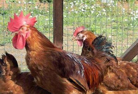 chovať kurčatá Rhode Island