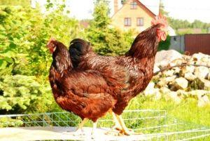 Průměry nosnice popsané plemeno až 160-170 vajec ročně