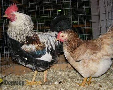 Загорские лососевые курица и петух
