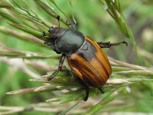 Хлебный жук (Anisoplia austriaca).