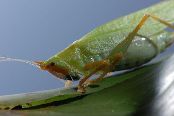 """Grasshopper Copiphora gorgonensis, která zjistila, skoro jako člověk """"ucho"""" (foto autorů)."""