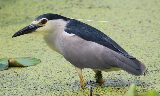Кваква – птица, а не лягушка