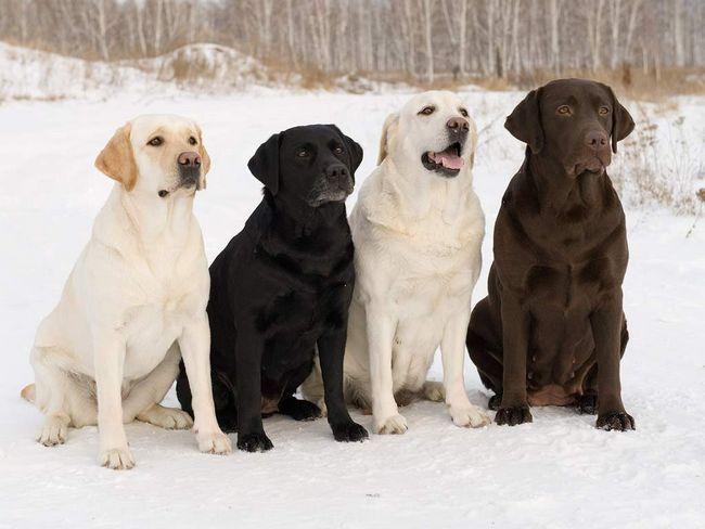 Лабрадоры разнообразных окрасов.
