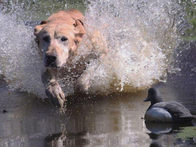 Лабрадоры абсолютно не боятся воды.