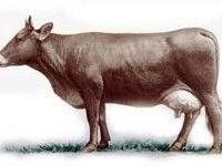 Lebedinskaya rase krava