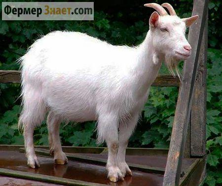 Лечение и профилактика мастита у коз