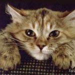 как вылечить глистов у кошки