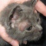 mikrosporiya mačke