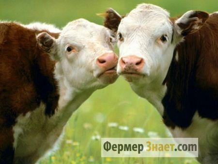 Kravy na pastve