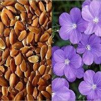 Лен масличный технология выращивания
