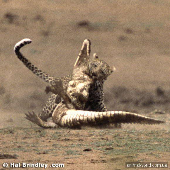 On crocodile mirno iz vode i puzao polako uz plažu & amp; hellip-Kada ovom trenutku na njega iz grmlja napao leopard & amp; hellip;