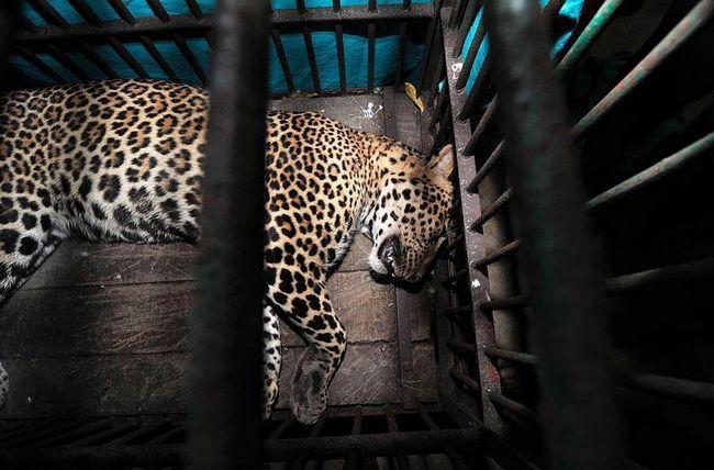 Leopard skalpiran čovjek jedan šapa udarac