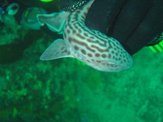 Leopard shark - vlasnik veličanstvene boje.