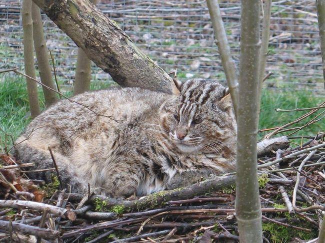 Leopard cat (Prionailurus bengalensis euptilurus).
