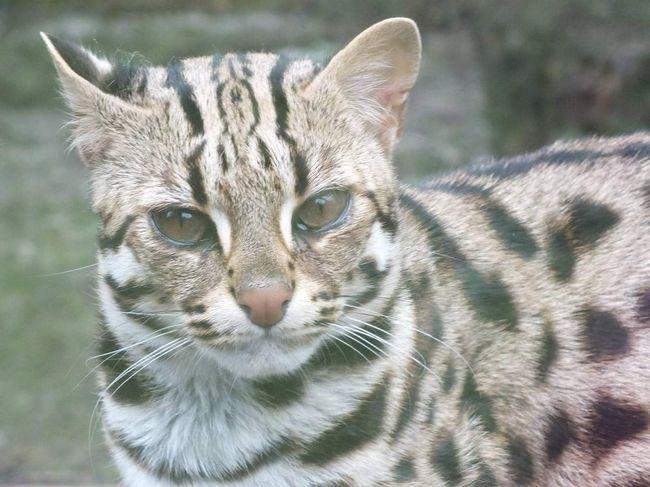 Ova vrsta divlje mačke - stanovnici Azije.