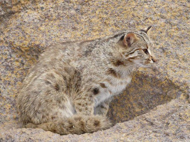 Leopard cat - zvijer grabljivice.