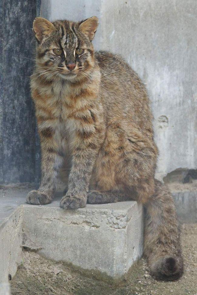 Ove mačke žive oko 15 godina.