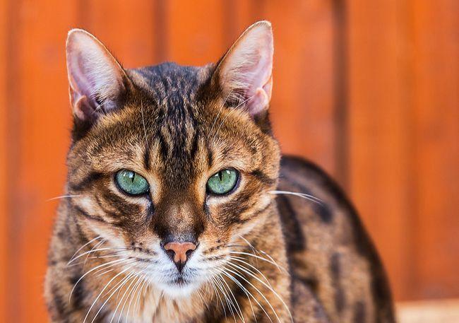 Леопардовый кот