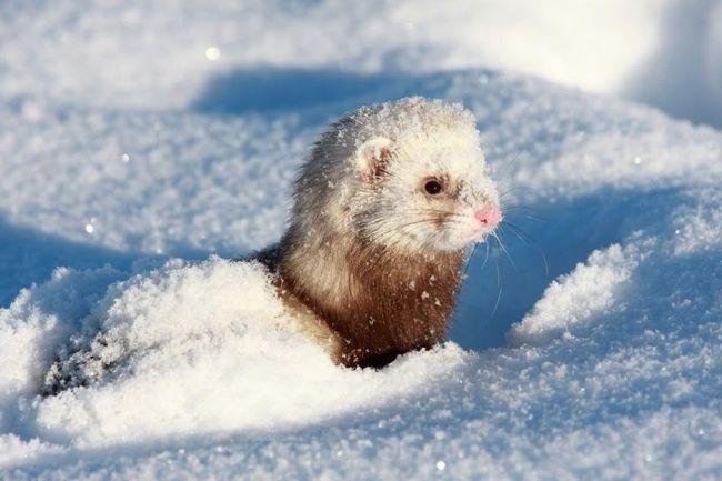 To je pod snijegom lasica može loviti miševe