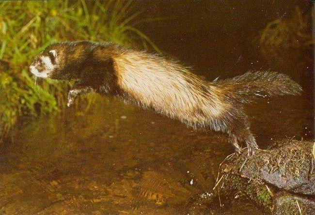 Lasica može loviti, ne samo na kopnu. Evo na ovaj način je u stanju da uhvati ribu u plitkoj vodi i