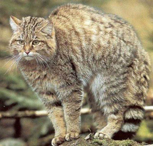 Лесной кот (felis silvestris)