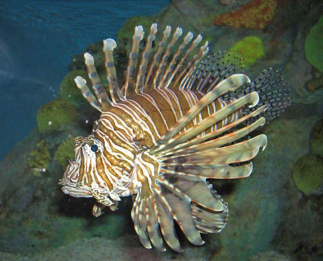 Riba rotor (Morski paun).