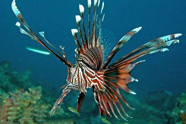 Riba lionfish proizvodi dvosmislen dojam - da je, u isto vrijeme veličanstvene i luksuzan, ali to donosi strah.