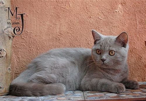 Lila britanski mačka