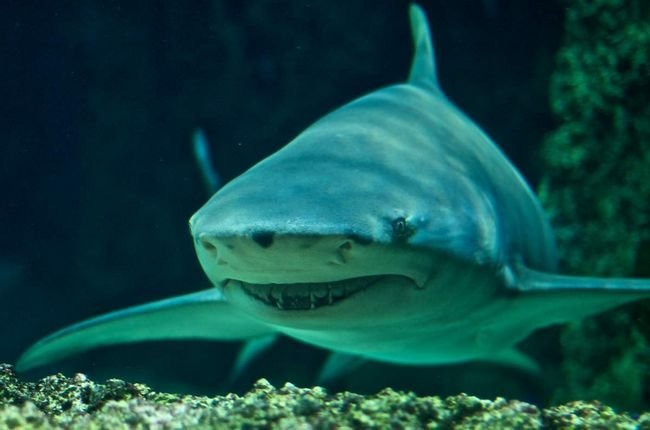 Лимонная акула (Negaprion brevirostris).