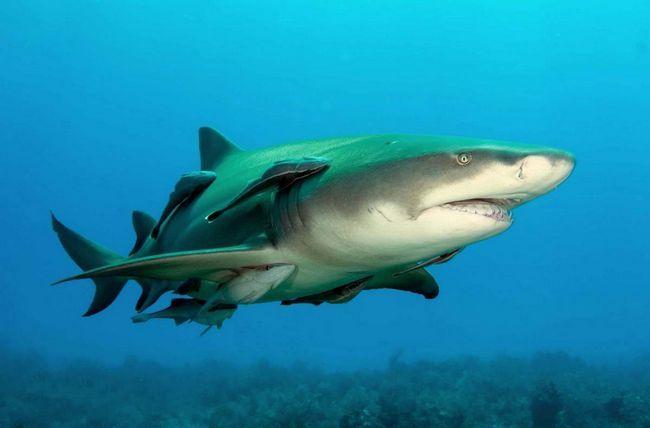 Лимонная акула рожает сразу живых мальков, не откладывая икру.