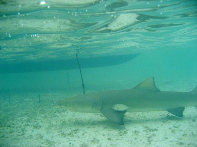 За всю жизнь акула производит на свет не больше 10 акулят.