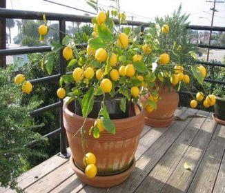 Limuna u vašem domu