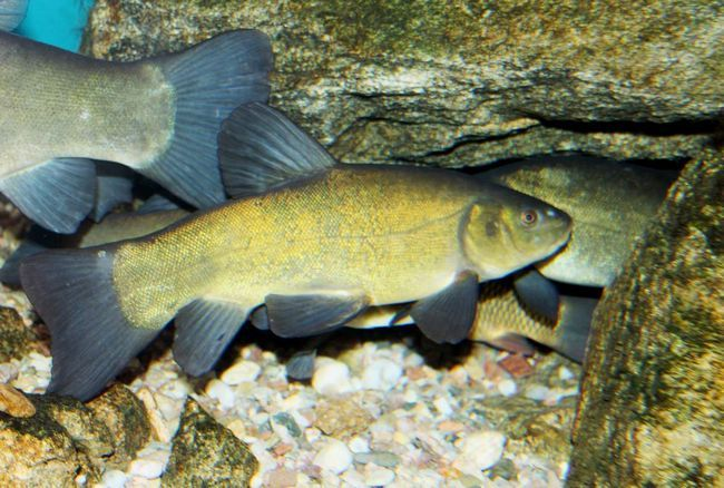 Ryby lin (Tinca tinca).