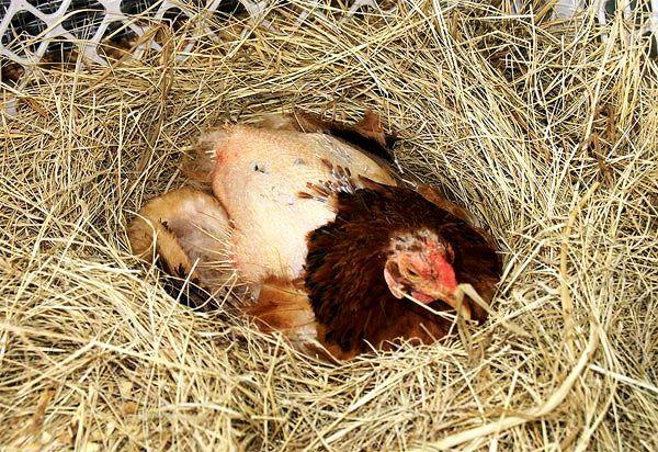 Линька у кур: причины и способы предотвращения