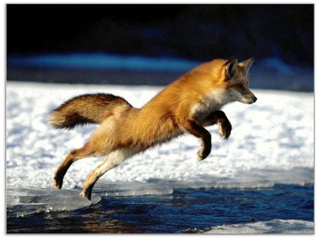 Рыжая лисица пытается перепрыгнуть полынью
