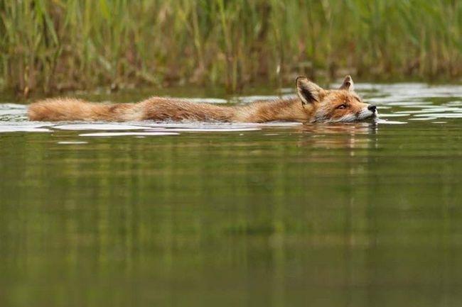 Лисы - превосходные пловцы. Кстати, он и могут даже неглубоко нырять, охотясь за рыбой.