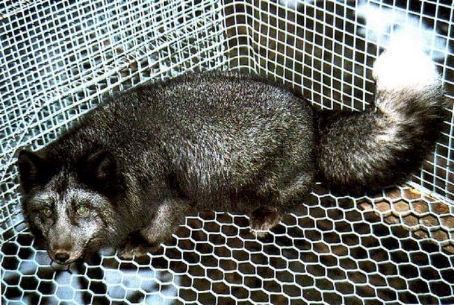 Vuna Blyufrost grublji lisica, ali isto lijepa, kao lisica.