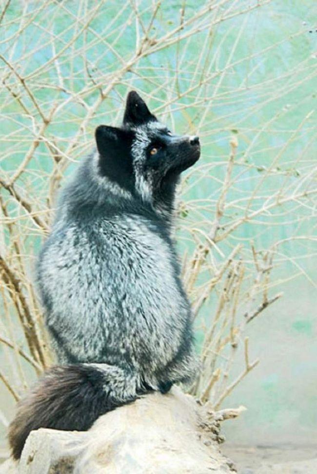Lisopsov od vune dobila neverovatnih krzna, tako da se životinje uzgajaju specijalno za tu svrhu.