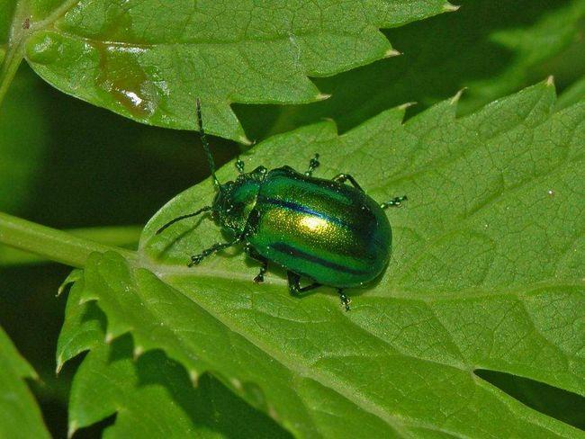 Pásavky (Chrysomelidae).