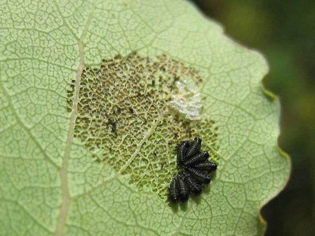 Larvy chrobákov na zadnej strane listu.