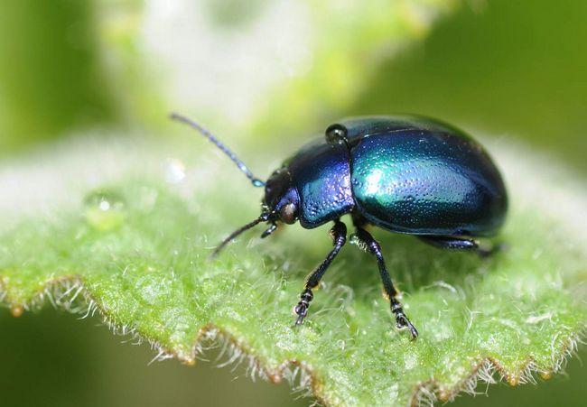 Pásavky - chrobáky, ktoré poškodzujú listy.