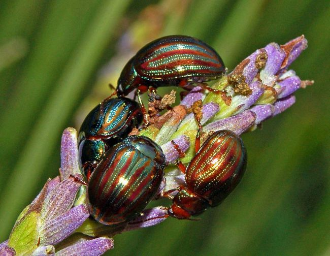 Niektoré z týchto chrobákov sa živia hmyzom mŕtvol, hrá úlohu zdravotné sestry.
